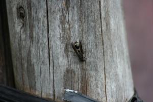 ミカドトックリバチ(益虫)