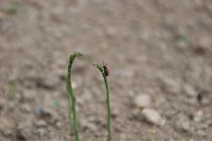 ジュウシホシクビナガハムシ1
